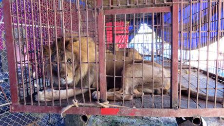 Lettre ouverte contre les conditions de détention des animaux dans les cirques