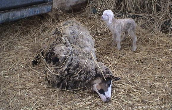 Né lors d'un transport vers l'abattoir