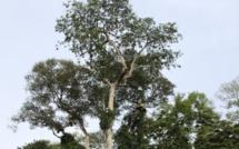 En Afrique, les hommes quittent la forêt et les arbres meurent